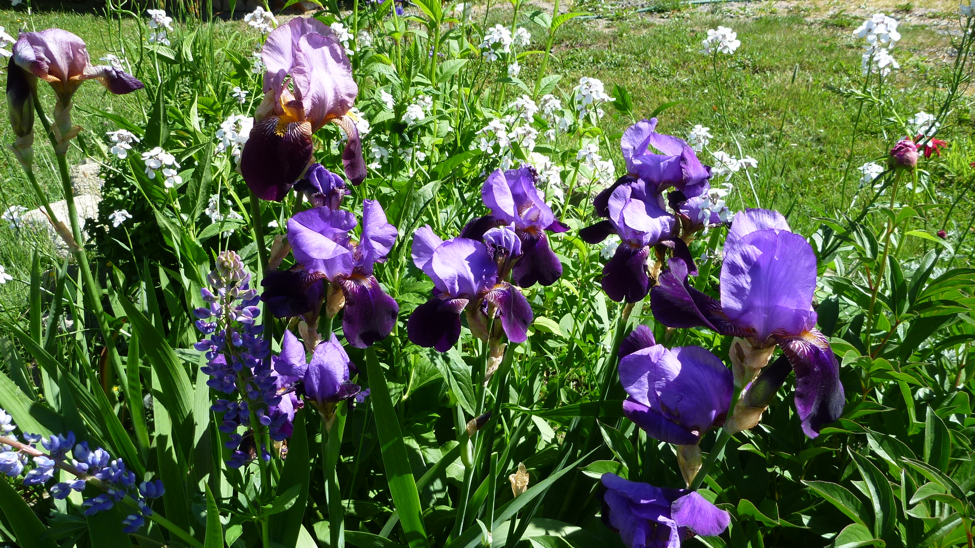 Acrylic painting tutorial iris flora doehler bearded iris izmirmasajfo